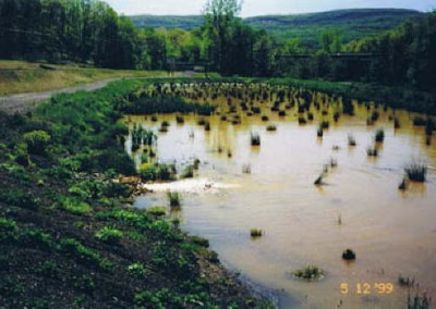 The plants will multiply and fill the pond with a sponge-like root system that captures the iron in the water, thus cleaning it of the iron contaminant.
