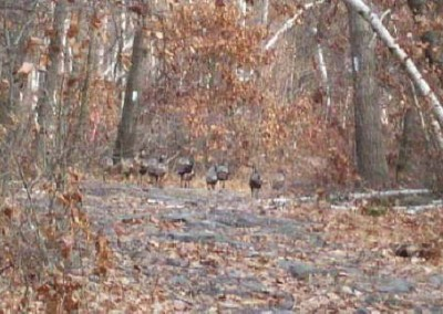 Wild turkeys are a common sight along the trail.